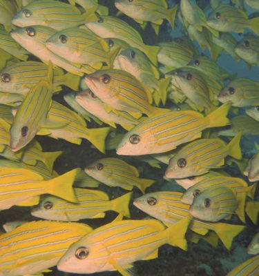 Maldivi-vorchuni