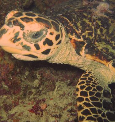 Maldivi-turtle
