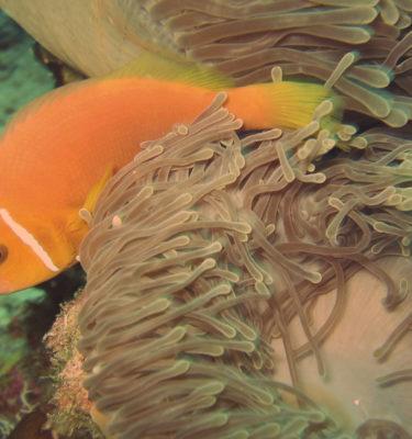 Maldivi-nemo